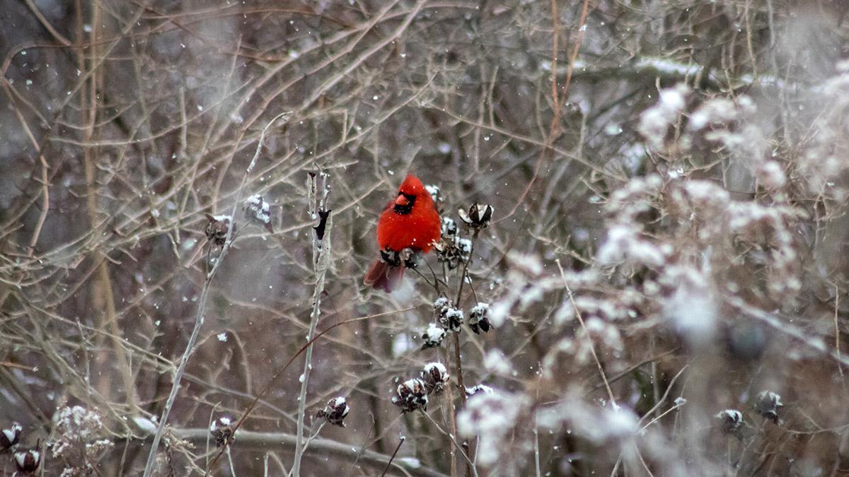 Northern Cardinal at Eagle Point